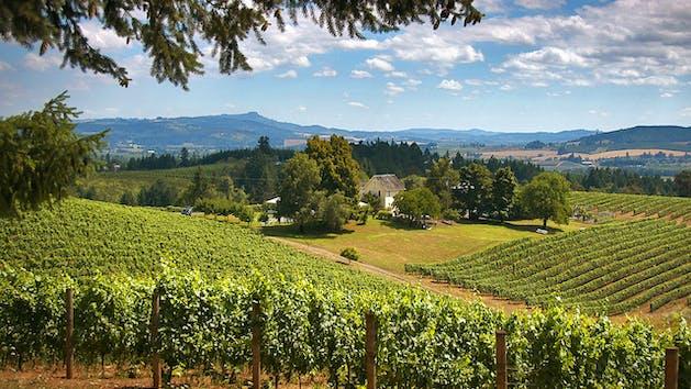 Vineyard in the Willamette Valley