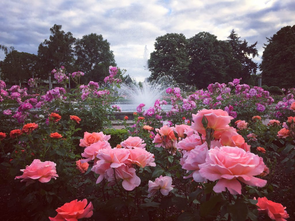 pink flowers with fountain in background