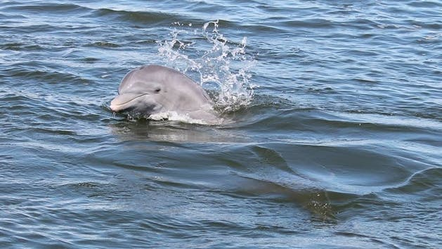 dolphin poking head out of water