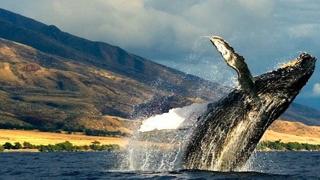 Humpback-Whale-Watching-on-Kauai
