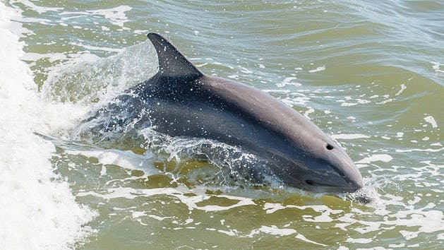 A dolphin swimming near New Smyrna Beach