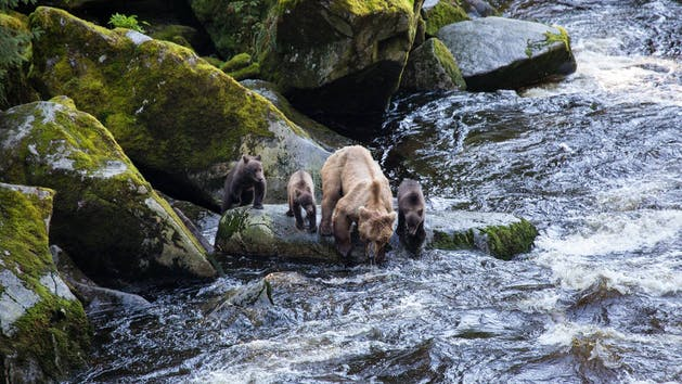 AnAn Creek Brown Bears