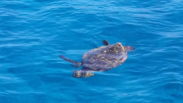 A turtle swimming just crests the surface of the water!
