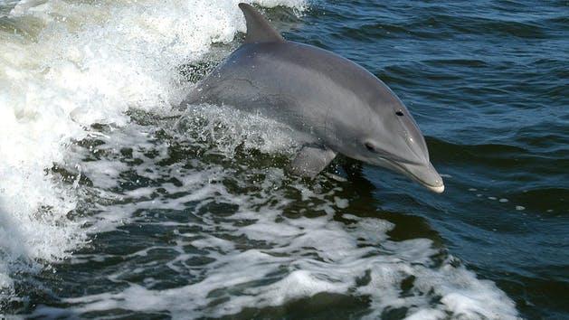 Dolphin Tours Cruise Gulf Ss Orange Beach Al