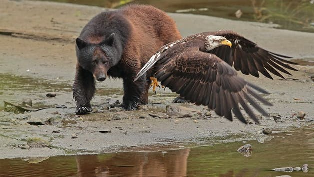 bear and bald eagle