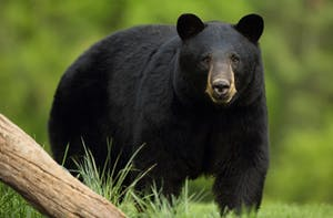 a black bear standing on top of a grass covered field