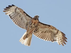 a hawk flying in the sky