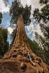 Giant Sequoia Tree Near Kernville