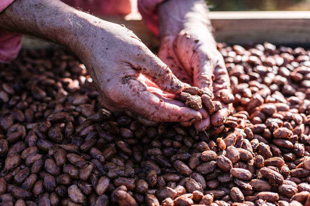 Hands and cocoa beans