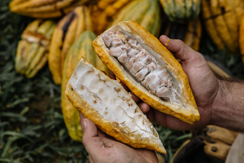 cacao fruit from lydgate farms kauai, hawaii, usa
