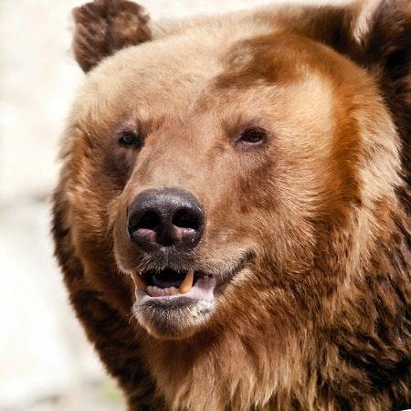 Grizzly bear facts alaska