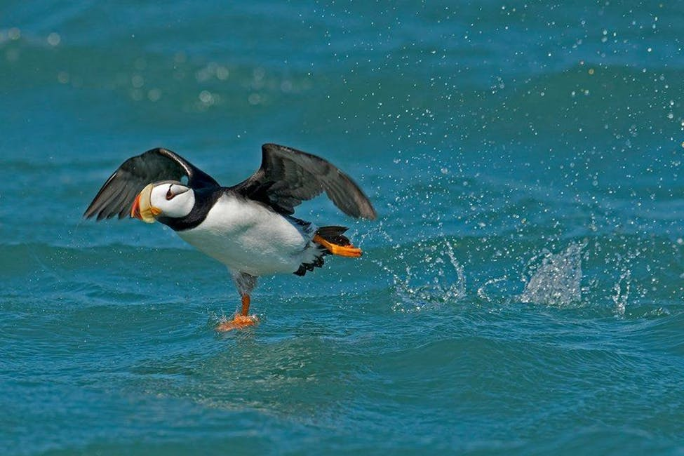 A Horned Puffin takes off from the waters in Resurrection Bay