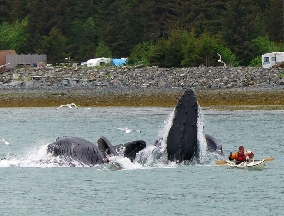 Man paddles too close to lunge feeding whales and is surprised in his kayak