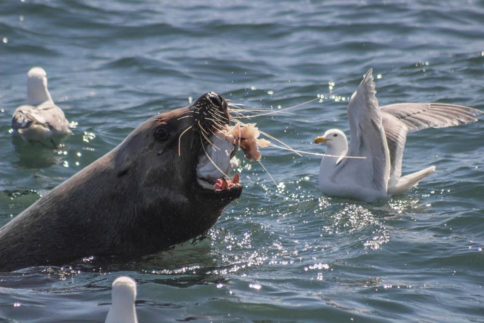 Stellar Sea Lion munches on Halibut Head mid air