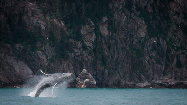 A humpback whale breaching the water in Seward Alaska