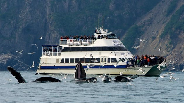 Major Marine Kenai Fjords National Park Cruise with whales breaching the surface