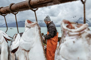 Fish hanging on the line while a deckhand fillets at Miller's Landing in Seward, AK