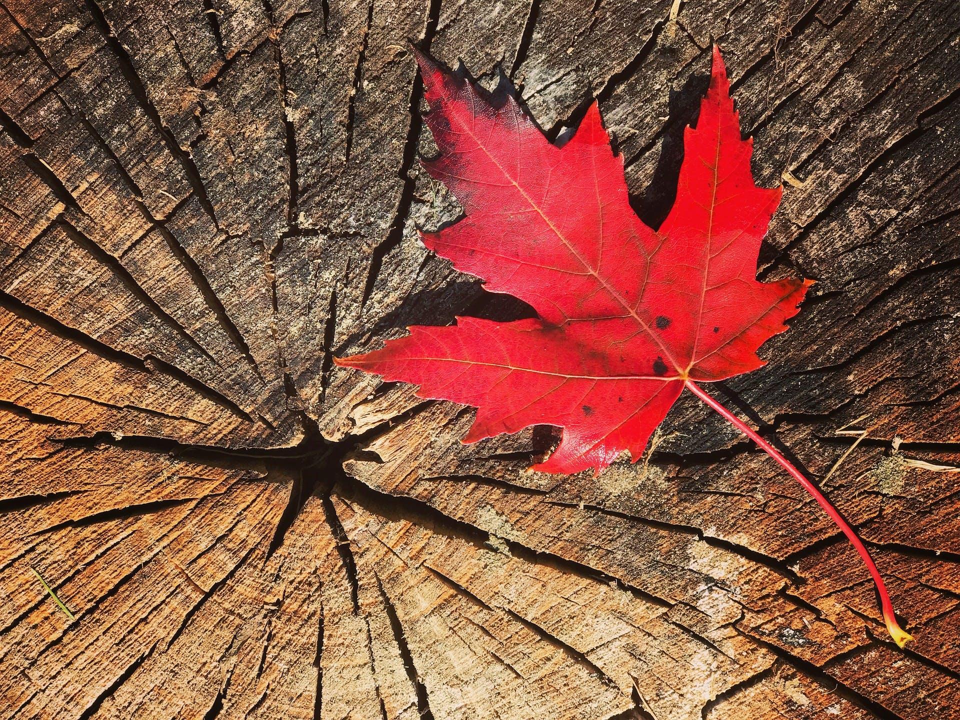 Canada maple leaf on tree stump