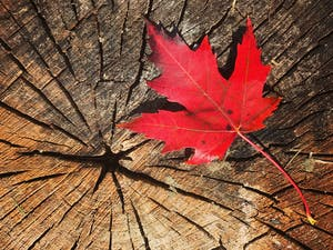 Canada maple leaf on tree stump