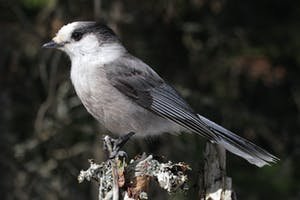Whiskey Jack alpine bird common on ski hills