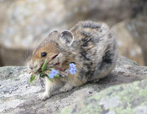 Mountain pike on a rock carrying flowers