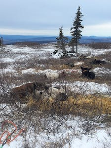 a herd of sheep walking across a snow covered field