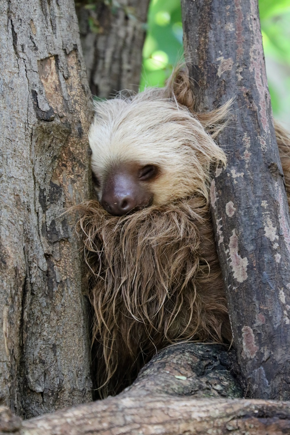 sloth sanctuary costa rica | visit and see two toed sloth rescued