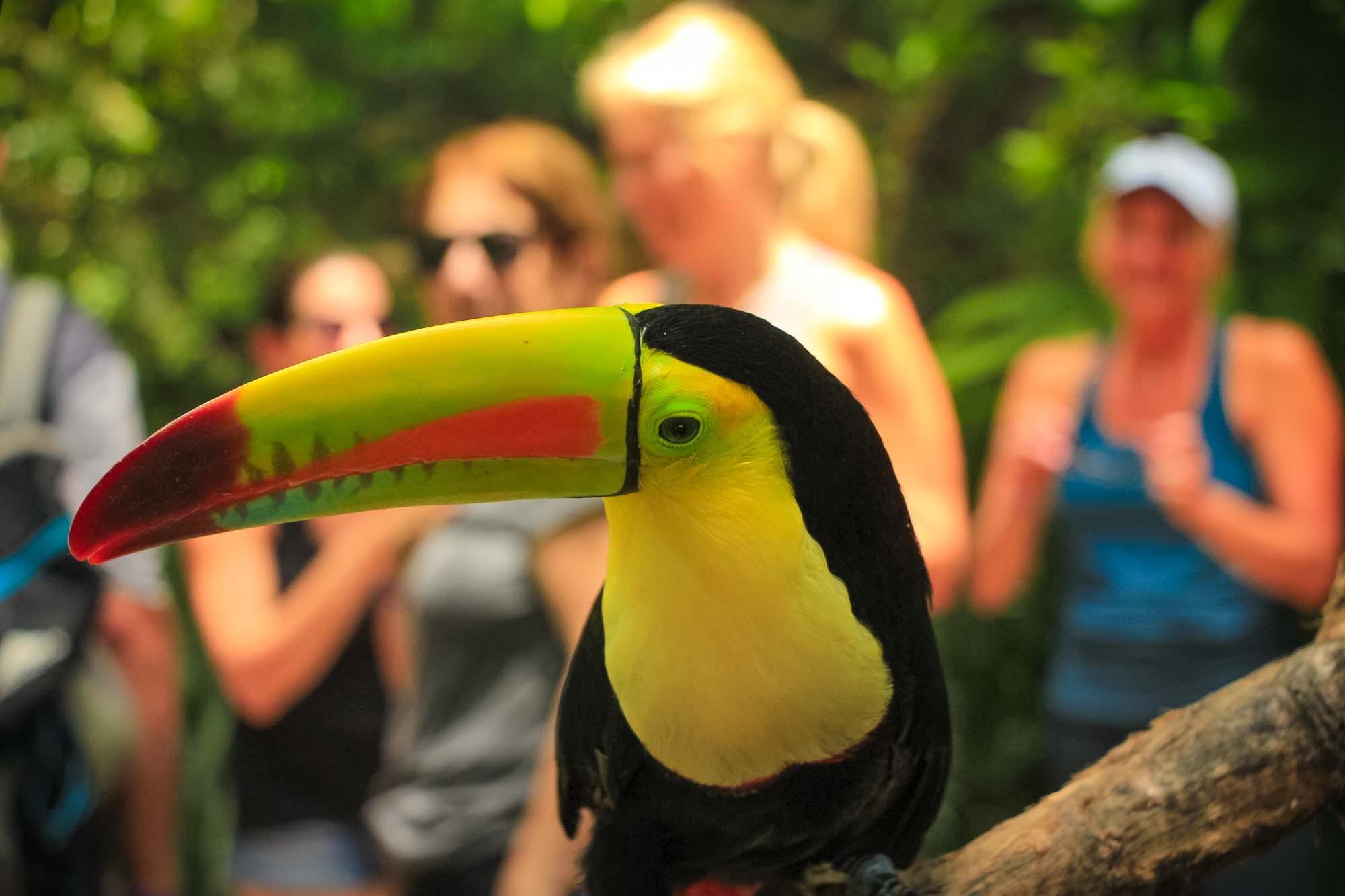 colorful toucan costa rica
