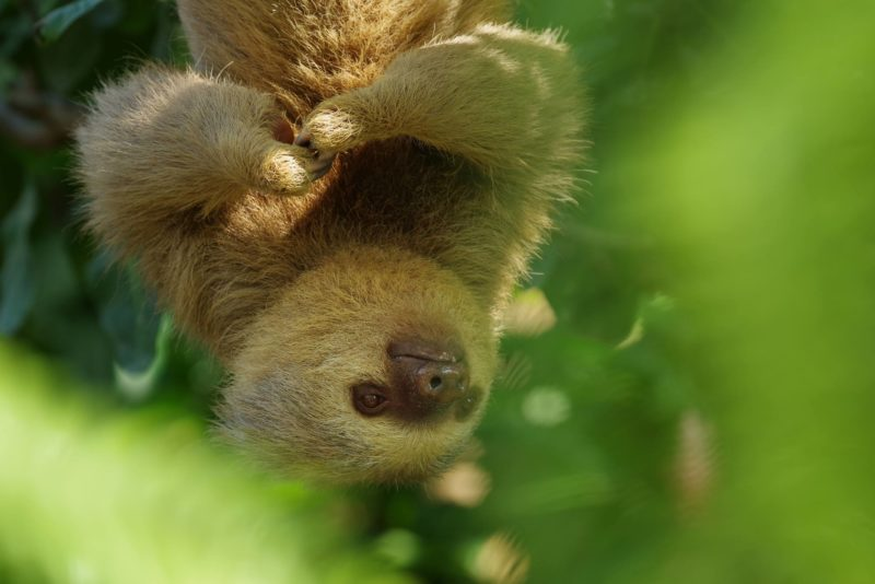 two toed sloth costa rica hanging