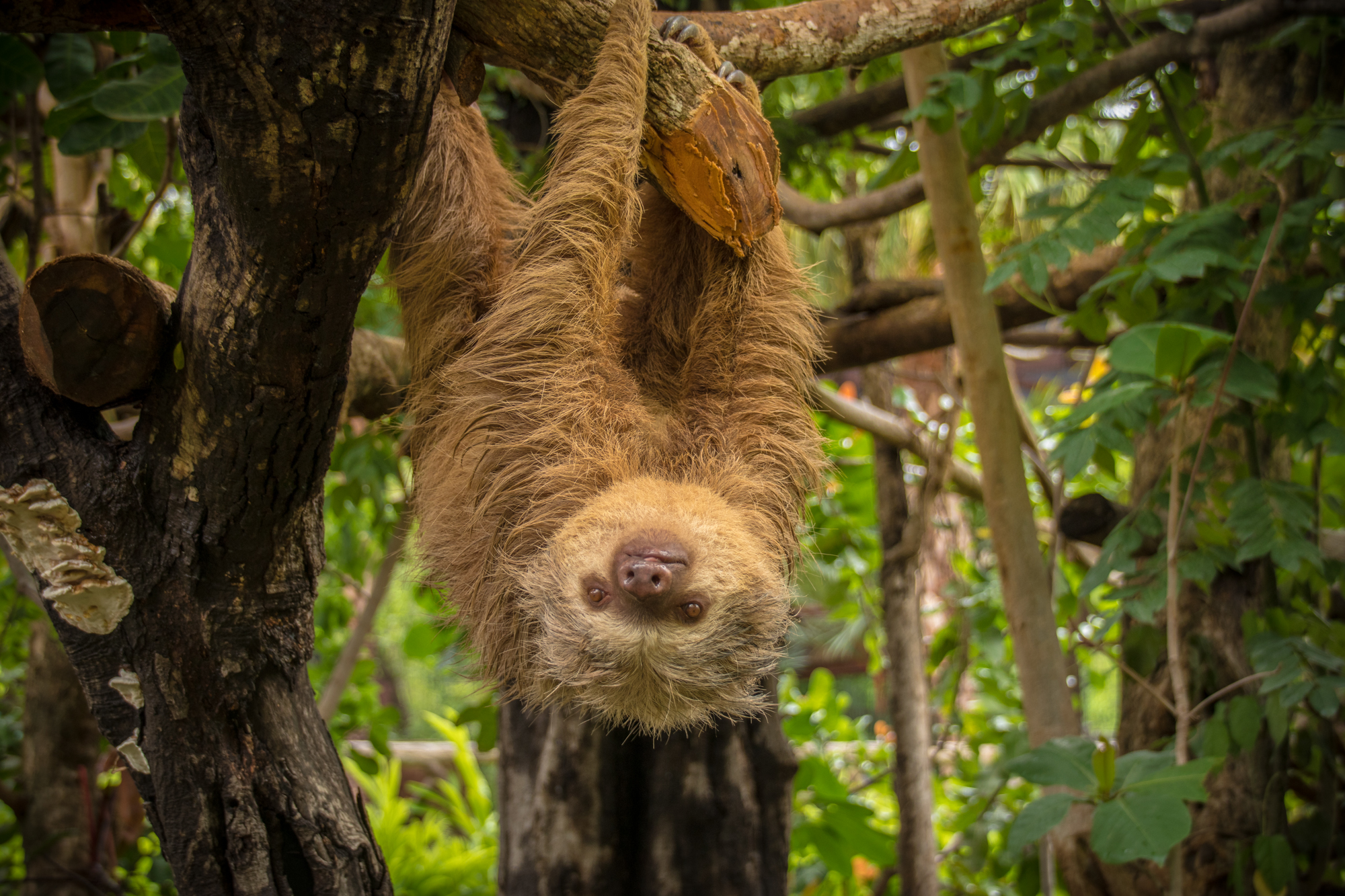 two toed sloth hanging diamante park