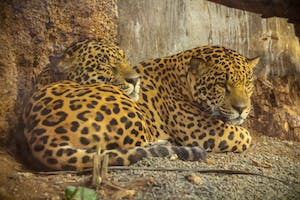 Where to See Jaguars in Costa Rica - Diamante Eco Adventure Park's Nico and Sama