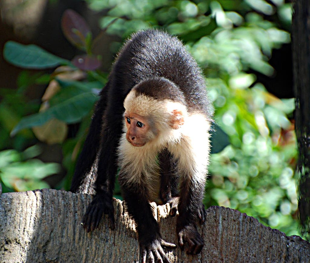 Costa Rica White Faced Monkey - Travel Tips and Vacation Spots