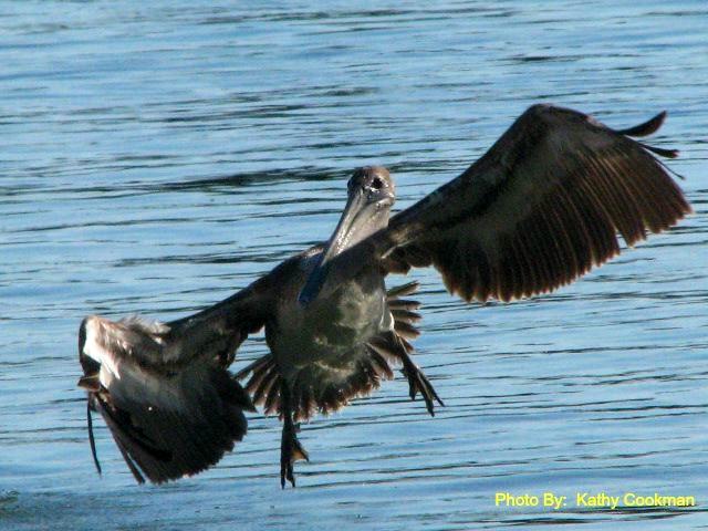Pelican Landing!