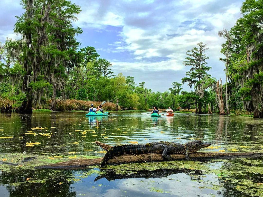 an alligator on a log in the middle of the bayou with several kayakers in the background