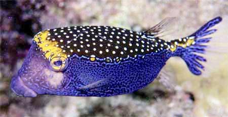 Hawiian boxfish male