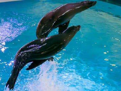Sea-Lion-Show