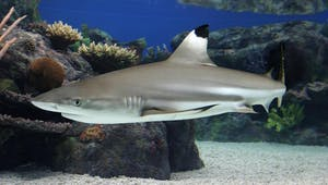 blacktip-reef-shark