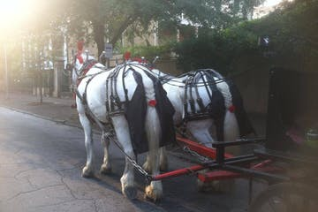 Rear view of 2 white horses pulling a black carriage.