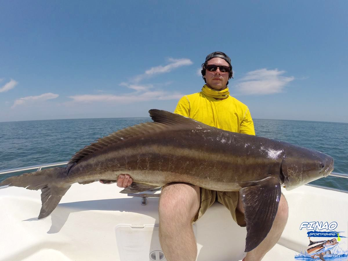 chesapeake bay cobia fishing