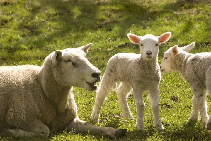A sheep and two lambs laying in the grass.