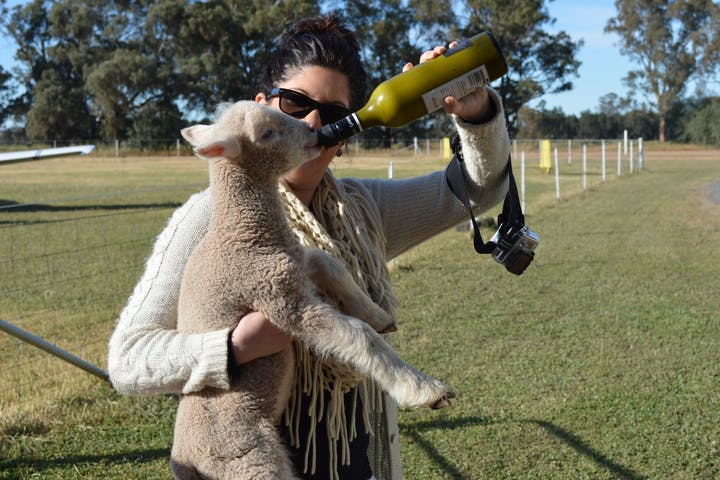 A little lamb being bottle fed.