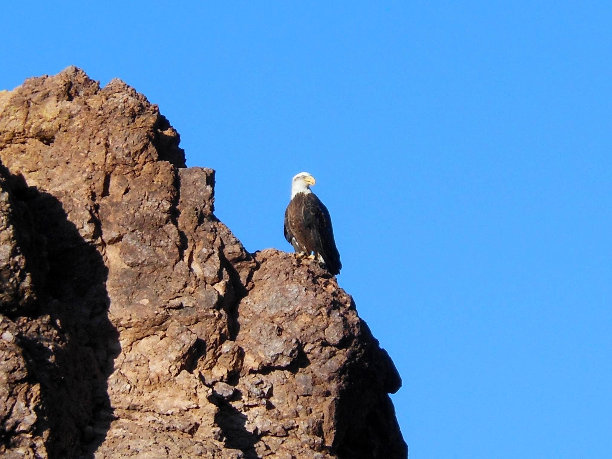 Bald eagle overlooks Canyon Lake