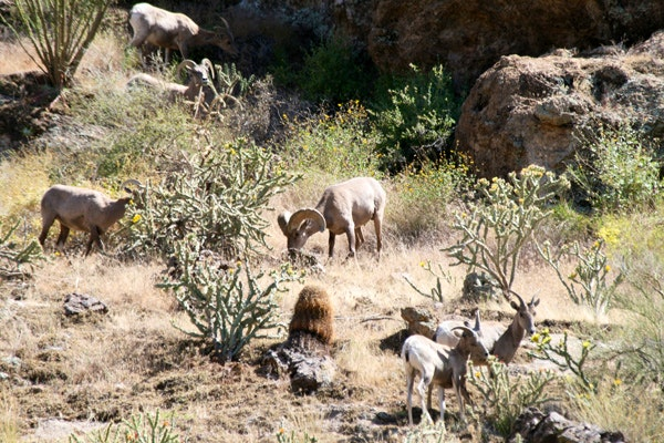 Desert Bighorn Sheep in Arizona