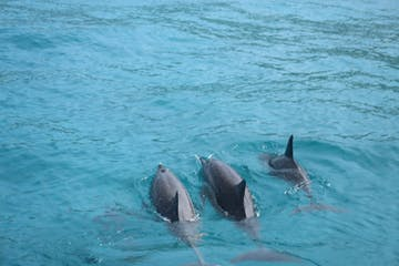 Hawaii Spinner Dolphins swimming in Kealakekua Bay