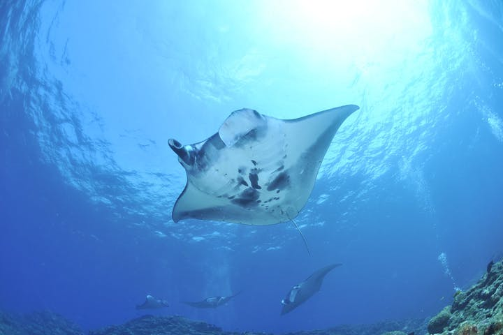 Manta Ray swimming in the ocean