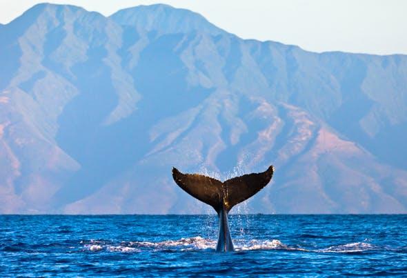 Hawaii's Humpback Whales: Gentle Giants' Visit | Roberts Hawaii