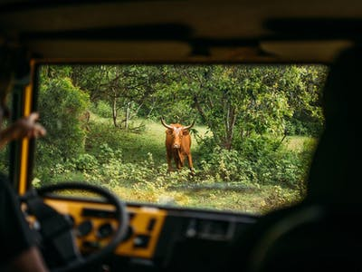 bull in the middle of the forest from view of off road vehicle