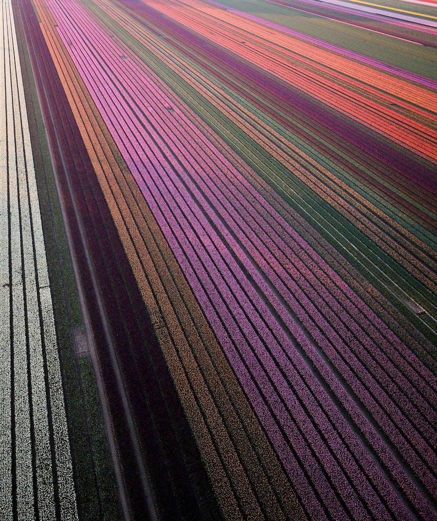 birdsview over the tulipfields of holland