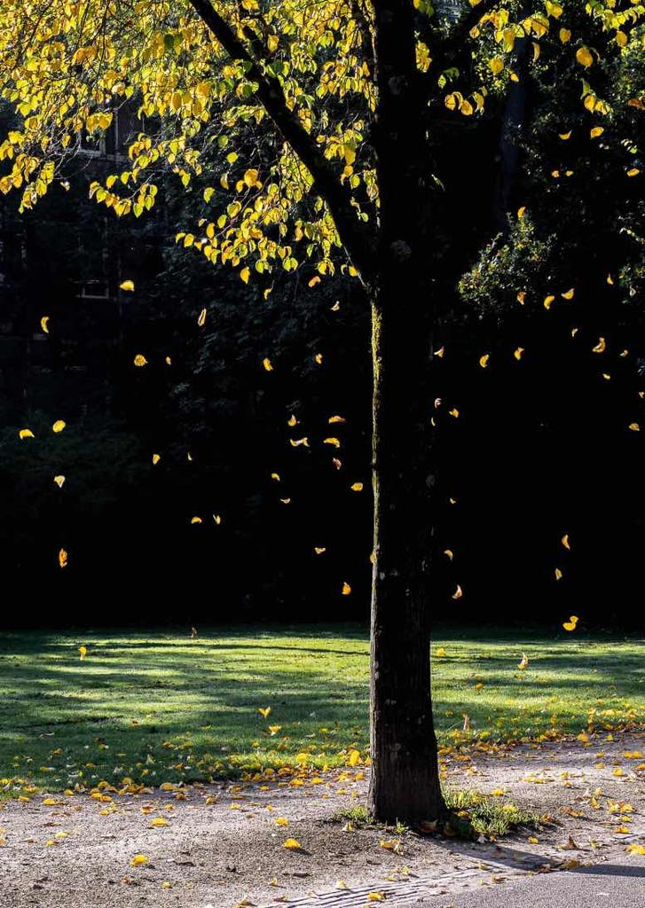 vondelpark tree a romantic place in amsterdam