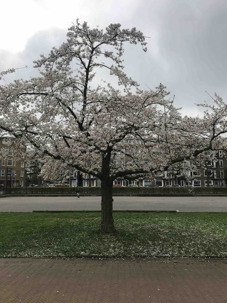 an empty A tree in blossom in a park in Amsterdam